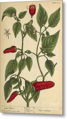 Guinea Pepper, Medicinal Plant, 1737 Metal Print