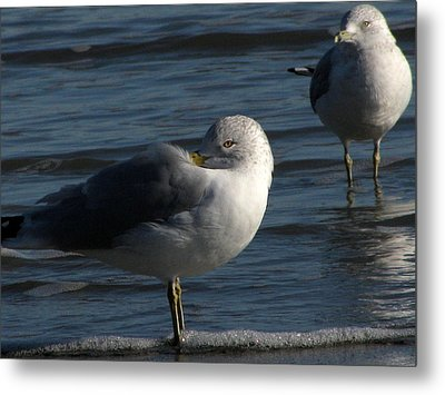 Gull At Rest Metal Print by Charles Shedd