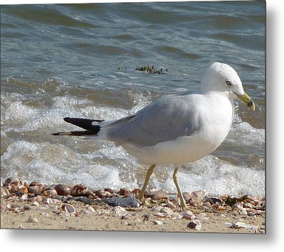 Gull Strolling The Shore Metal Print by Margie Avellino