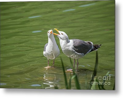 Gulls Courting Metal Print by Kate Brown