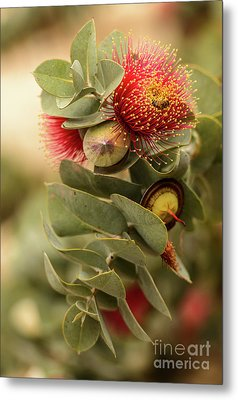 Metal Print featuring the photograph Gum Nuts by Werner Padarin