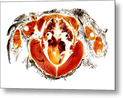 Gyr Falcon Anatomy Cross Section  Metal Print by Christoph Von Horst