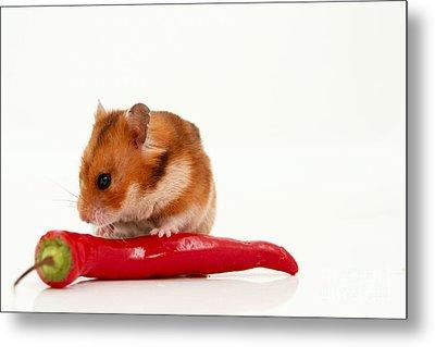 Hamster Eating A Red Hot Pepper Metal Print by Yedidya yos mizrachi