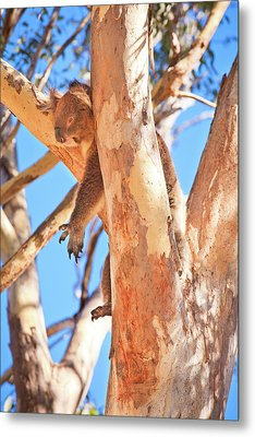 Hanging Around, Yanchep National Park Metal Print