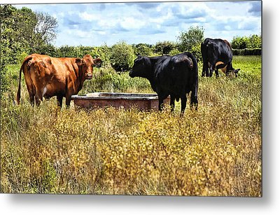 Happy Cows Come From California ... Metal Print