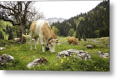 Happy Cows In High Pastures Metal Print by Colleen Williams