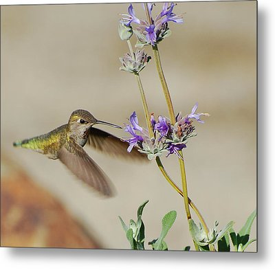 Happy Hummer Metal Print by Jean Booth