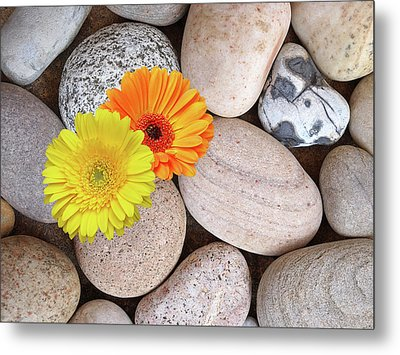 Sunshine Daisies And Pebbles On The Beach Metal Print