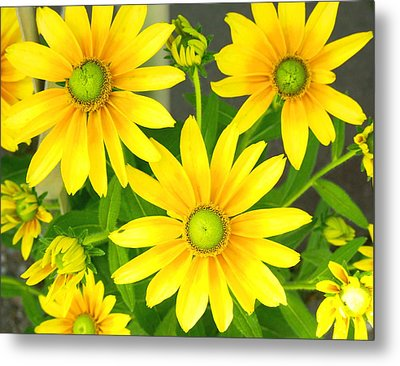 Happy Yellow Summer Cone Flowers In The Garden Metal Print