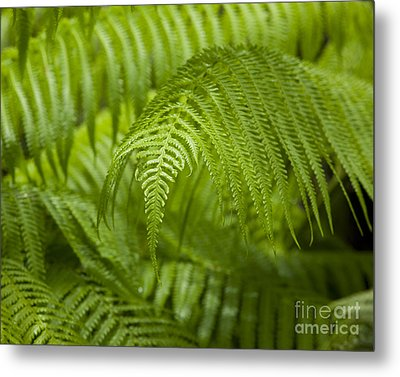 Hapu'u Tree Ferns Metal Print by Charmian Vistaunet