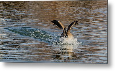 Metal Print featuring the photograph Hard Landing by Yeates Photography