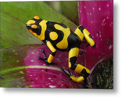 Harlequin Poison Dart Frog  Metal Print by Thomas Marent