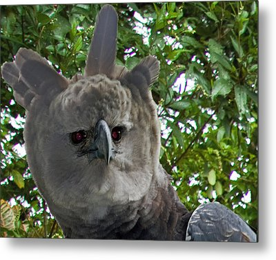 Harpy Eagle Metal Print by Larry Linton