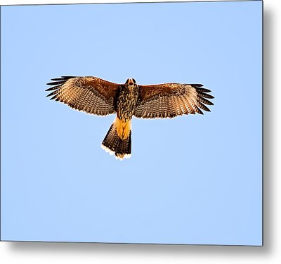 Metal Print featuring the photograph Harris's Hawk H36 by Mark Myhaver