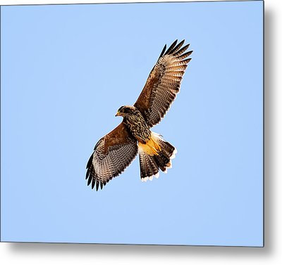 Metal Print featuring the photograph Harris's Hawk H37 by Mark Myhaver