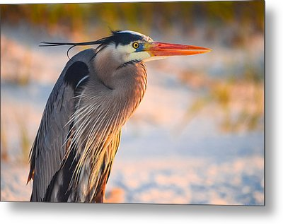 Harry The Heron With Plumage Close-up Metal Print