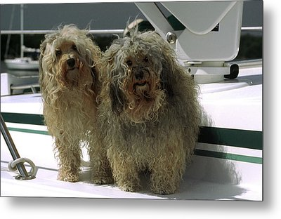 Metal Print featuring the photograph Havanese Dogs by Sally Weigand