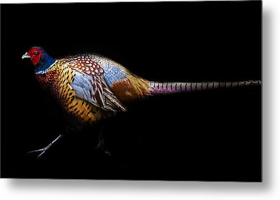 Have A Pheasant Day.. Metal Print by Martin Newman