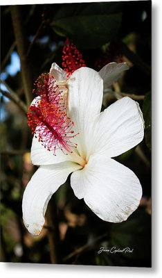 Metal Print featuring the photograph Hawaiian Hibiscus  by Joann Copeland-Paul