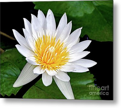 Hawaiian White Water Lily Metal Print by Sue Melvin
