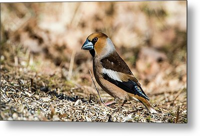 Metal Print featuring the photograph Hawfinch's Gaze by Torbjorn Swenelius