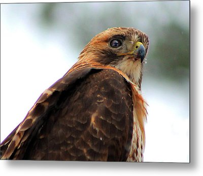 Metal Print featuring the photograph Hawk by Bruce Patrick Smith