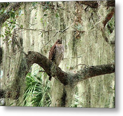 Hawk In Live Oak Hammock Metal Print by Peg Urban
