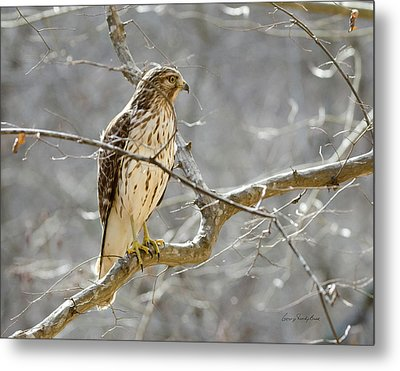 Metal Print featuring the photograph Hawk On Lookout by George Randy Bass