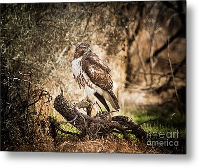 Hawk Through A Thicket Metal Print by Robert Frederick