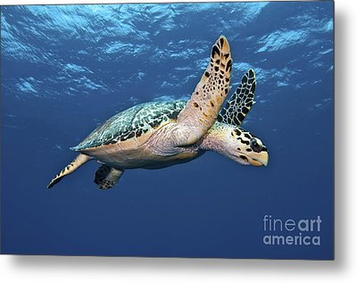 Hawksbill Sea Turtle In Mid-water Metal Print by Karen Doody