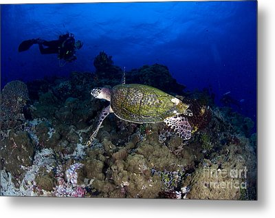Hawksbill Turtle Swimming With Diver Metal Print
