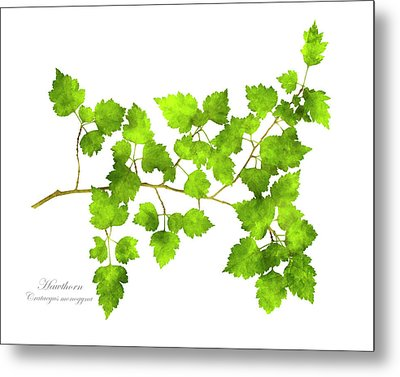 Hawthorn Pressed Leaf Art Metal Print by Christina Rollo