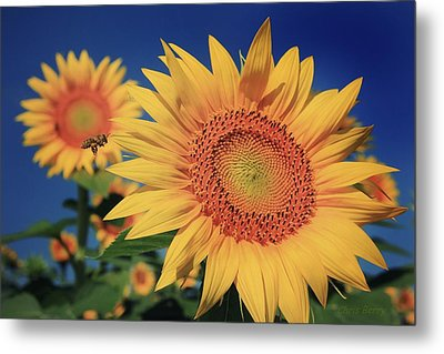 Metal Print featuring the photograph Heading For Gold by Chris Berry