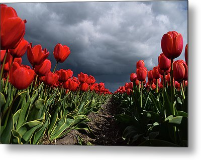 Heavy Clouds Over Red Tulips Metal Print by Mihaela Pater