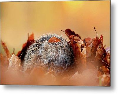 Hedgehog Hiding Metal Print by Roeselien Raimond