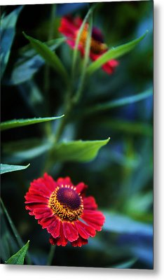 Helenium In Bloom Metal Print by Jessica Jenney