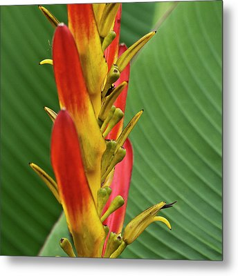 Heliconia Metal Print by Heiko Koehrer-Wagner