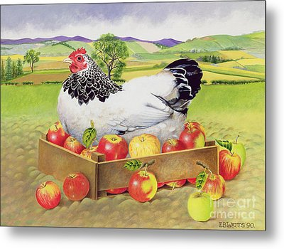 Hen In A Box Of Apples Metal Print by EB Watts