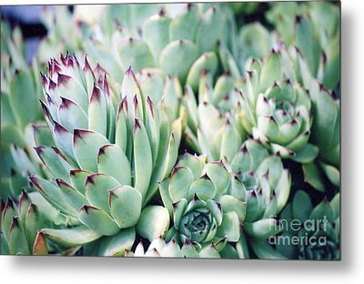 Hens And Chicks Plant Metal Print