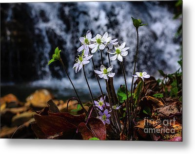 Metal Print featuring the photograph Hepatica And Waterfall by Thomas R Fletcher
