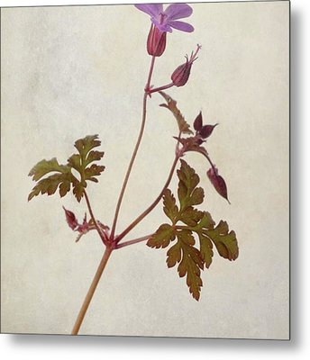 Herb Robert - Wild Geranium  #flower Metal Print by John Edwards
