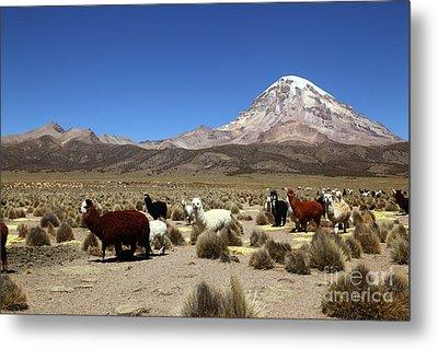 Herd Of Alpacas And Sajama Volcano Bolivia Metal Print by James Brunker