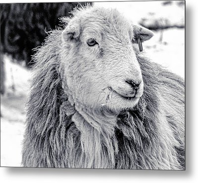 Metal Print featuring the photograph Herdwick Sheep by Keith Elliott