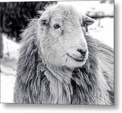 Herdwick Sheep Metal Print by Keith Elliott