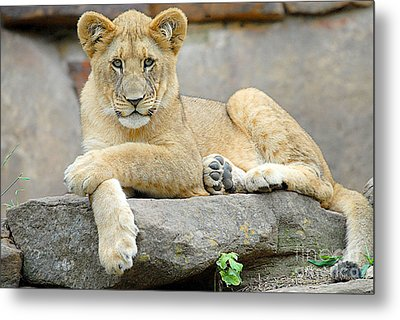Here Kitty Kitty Metal Print by Dyle   Warren