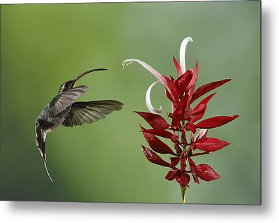 Hermit Hummingbird And Red Flower Metal Print by Juan Carlos Vindas