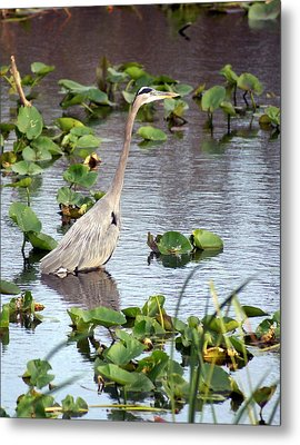 Heron Fishing In The Everglades Metal Print by Marty Koch