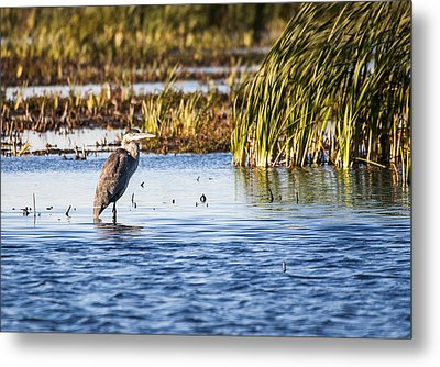 Heron - Horicon Marsh - Wisconsin Metal Print