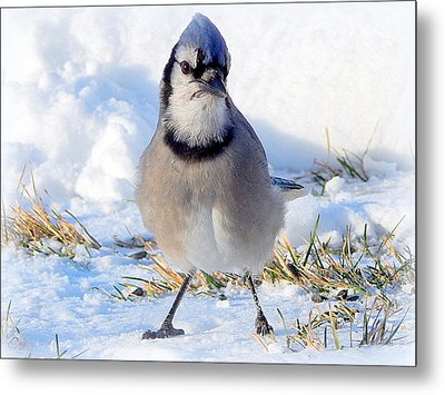 Hey Are You Talking To Me? Metal Print by Karen Cook