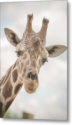Hi There, I'm A Giraffe Metal Print by David Collins